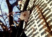【まちメディア】大阪でもサクラが開花