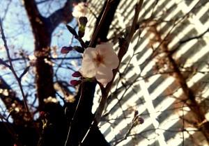 大阪でもサクラが開花