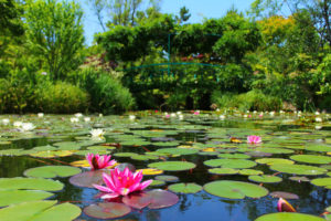 モネの名画をイメージした「睡蓮の庭」。ガーデンミュージアム比叡は、中学生以上1,030円、小学生515円。