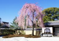 京都・東山の高台寺で「春の特別拝観」 しだれ桜の波心庭ライトアップと「白浪画伯墨彩画展」