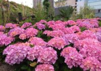 夏の花に全面リニューアル 「うめきたガーデン」 高級アジサイ・ヒマワリなど約10万株
