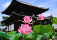 ハスの花咲く 奈良・西ノ京3カ寺へ 「ロータスロード」で特別ご朱印めぐり