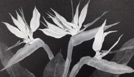 モノクロの花の世界「片山治之 野の花展」 川西と梅田で