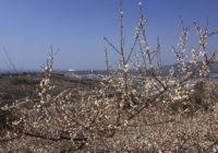 南部梅林 1月27日(土)から開園 「一目百万、香り十里」 特急も臨時停車