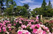 都心のバラ園 見ごろ迎える大阪・靭公園 170品種3400株