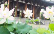 清らかなハスの花に悠久の歴史をたどる 奈良・西ノ京 ロータスロード 8月18日(日)まで 特別ご朱印や早朝参拝