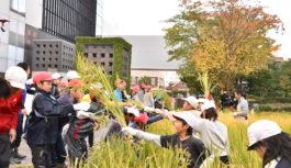 都会の真ん中で小学生が稲刈り体験 積水ハウスが実施