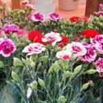 母の日のカーネーション 今年はどうする?<br />外出自粛で出番減少 花のある日常を取り戻す